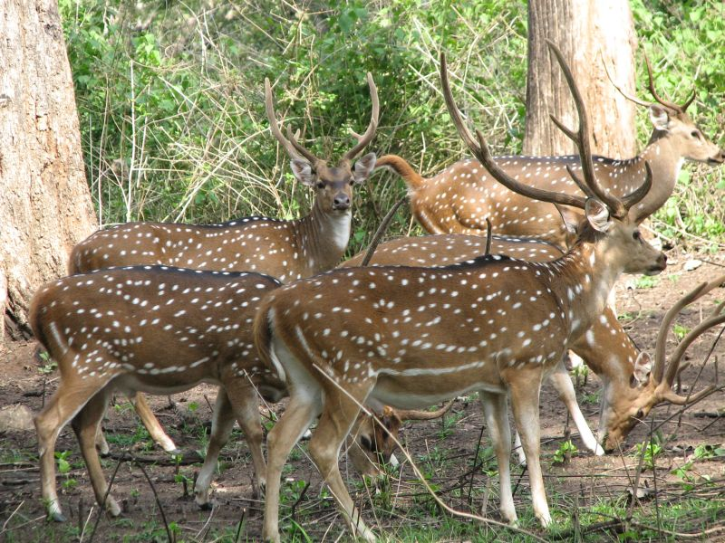 Spotted Deers in Telangana - Forest Department