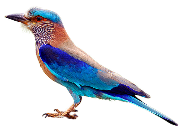 Indian Roller (Palapitta)